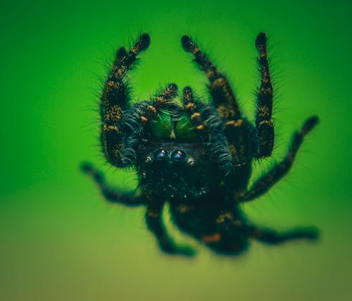 Closeup of dangerous predatory spider with fluffy legs on colorful green background in zoological garden