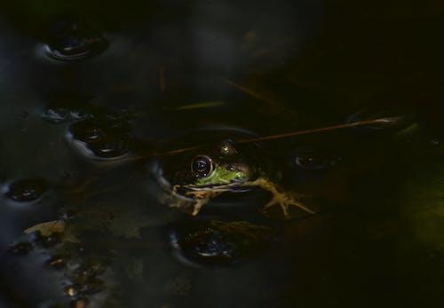 カエル, プール, ぼかし, 両生類の無料の写真素材