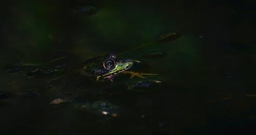 カエル, プール, 両生類, 反射の無料の写真素材