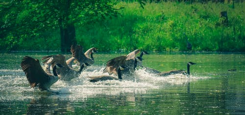 Graceful predatory birds flying over splashing water