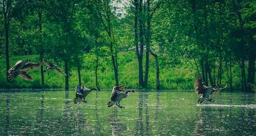 ガチョウ, パーク, プール, 動物の無料の写真素材