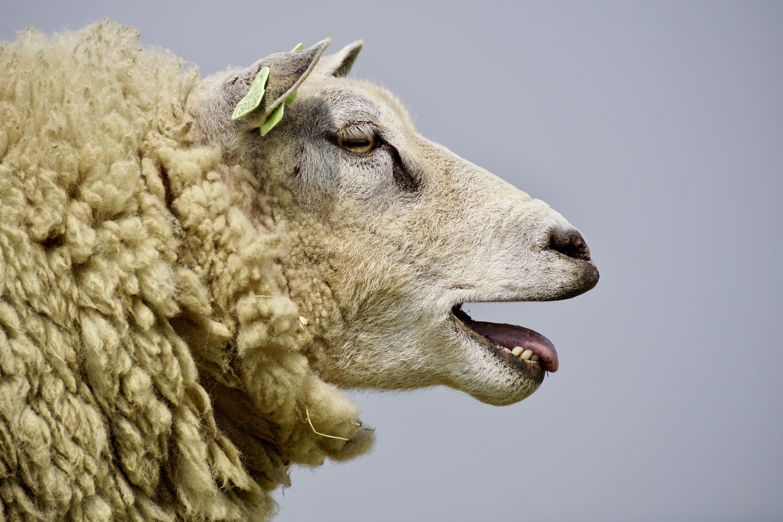 Beige Lamb