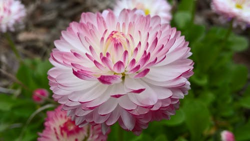 Darmowe zdjęcie z galerii z botaniczny, dalia, delikatny, flora
