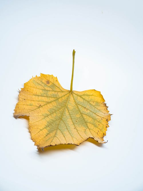 Yellow fallen leaf on white surface