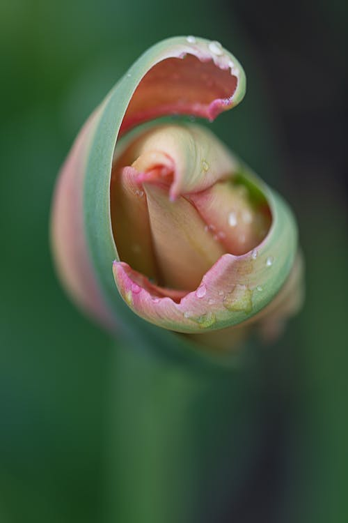 From above closeup delicate fragrant flower bud with pink and green petals growing in blurred garden