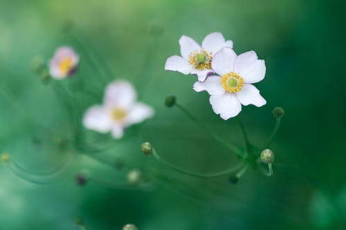 High angle delicate small white anemone flowers blossoming in lush abundant nature on summer day