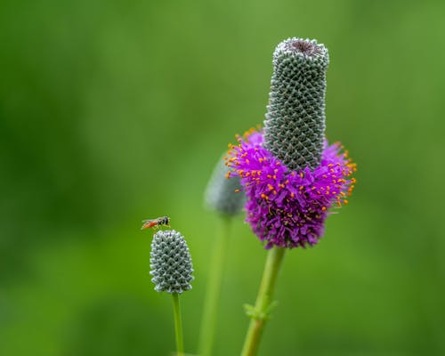 Selective focus of black fly sitting on purple prairie clover flower against blurred lush greenery