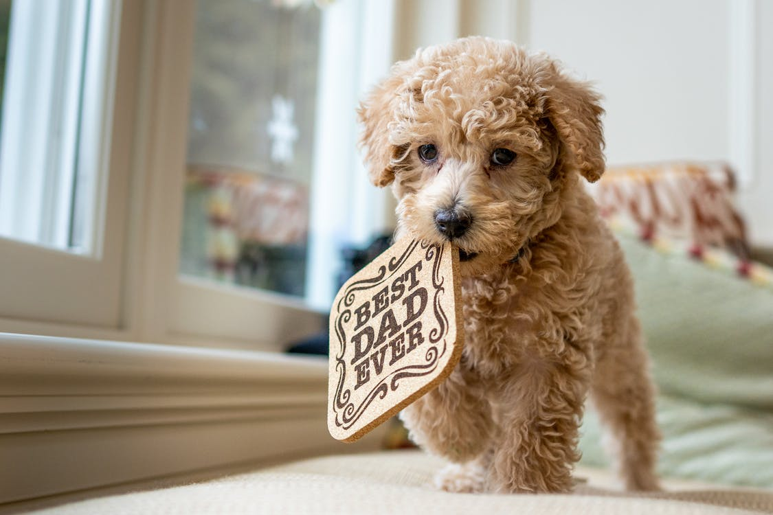Adorable Poodle with wooden pad in mouth walking on bed