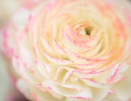 Tender ranunculus flower with white and pink petals