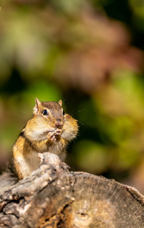 Cute squirrel with chubby cheeks in sunny park