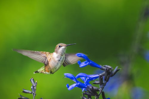 Scenery of small gray hummingbird soaring over bright blue flowers in lush summer forest