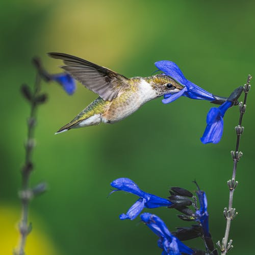 Adorable hummingbird sipping nectar from blue flower