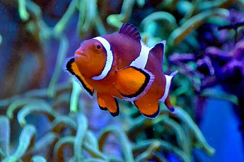 Tropical clownfish with colorful orange skin and white stripes swimming in clean water of aquarium near seaweeds