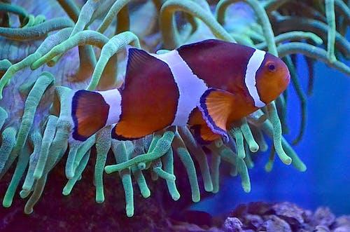 Swimming anemonefish with bright orange and white skin near white lush seaweed in big aquarium