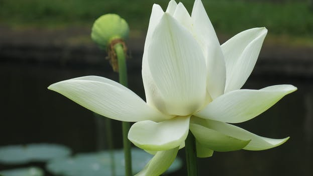 1000 beautiful lotus flower photos pexels free stock photos free stock photo of water flowers petals plant mightylinksfo