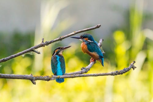 Selective Focus of Two Kingfisher Birds on Tree Branch