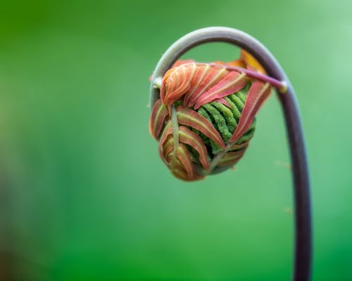 Closeup of small delicate new fronds of royal fern sprouting against blurred green background