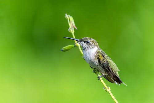 Exotic Mellisuga minima bird sitting on stem in green field