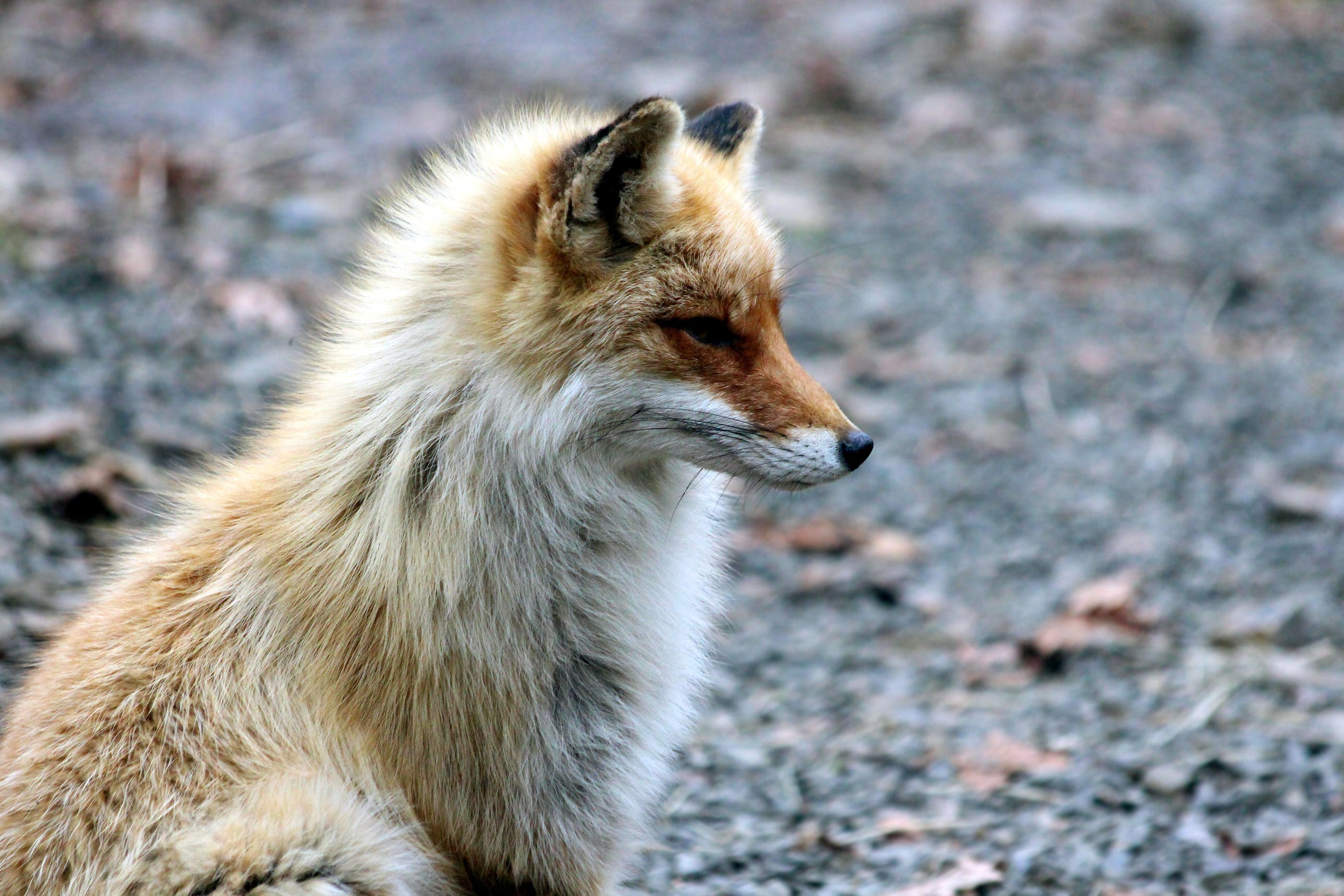 Brown and White Fox