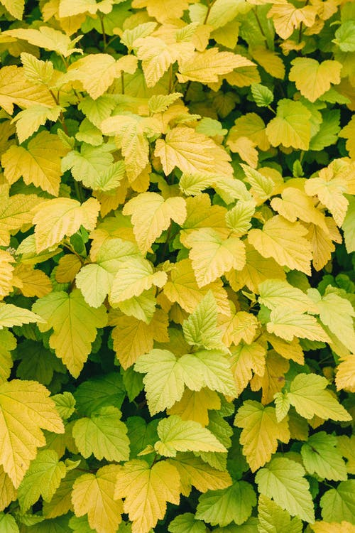 Close Up of Yellow Leaves