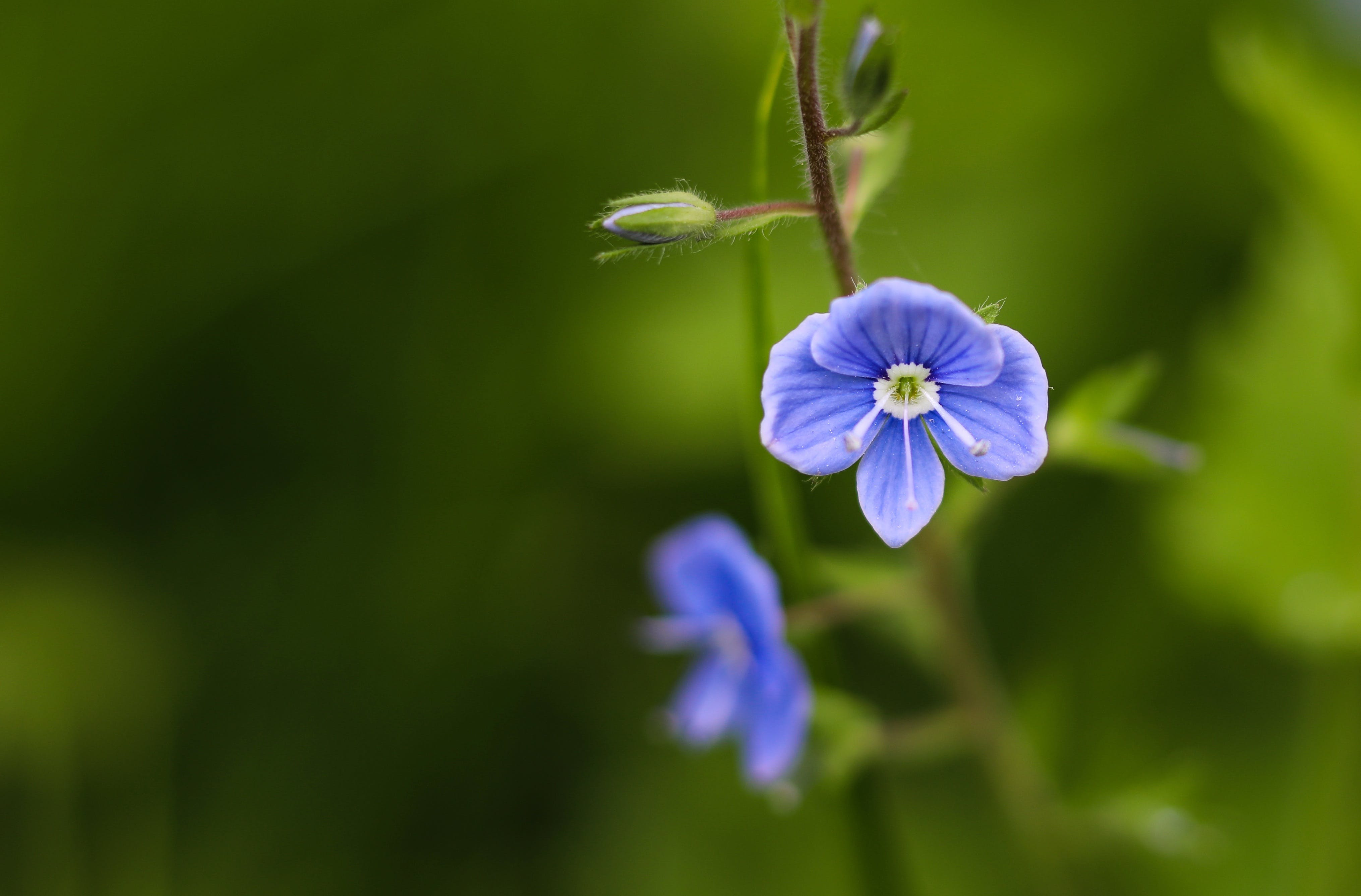 Free stock photo of blue, spring, flower, wild