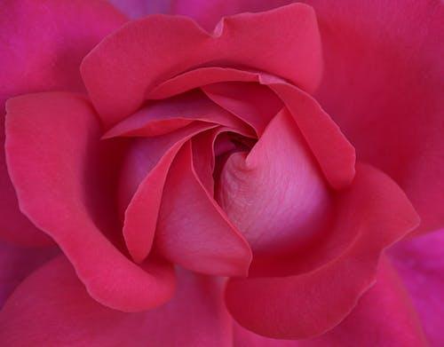 Foto stok gratis anggun, berbunga, berkembang, flora