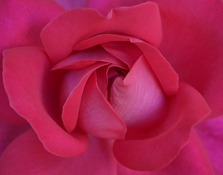 Free stock photo of petals, macro, rose, bloom