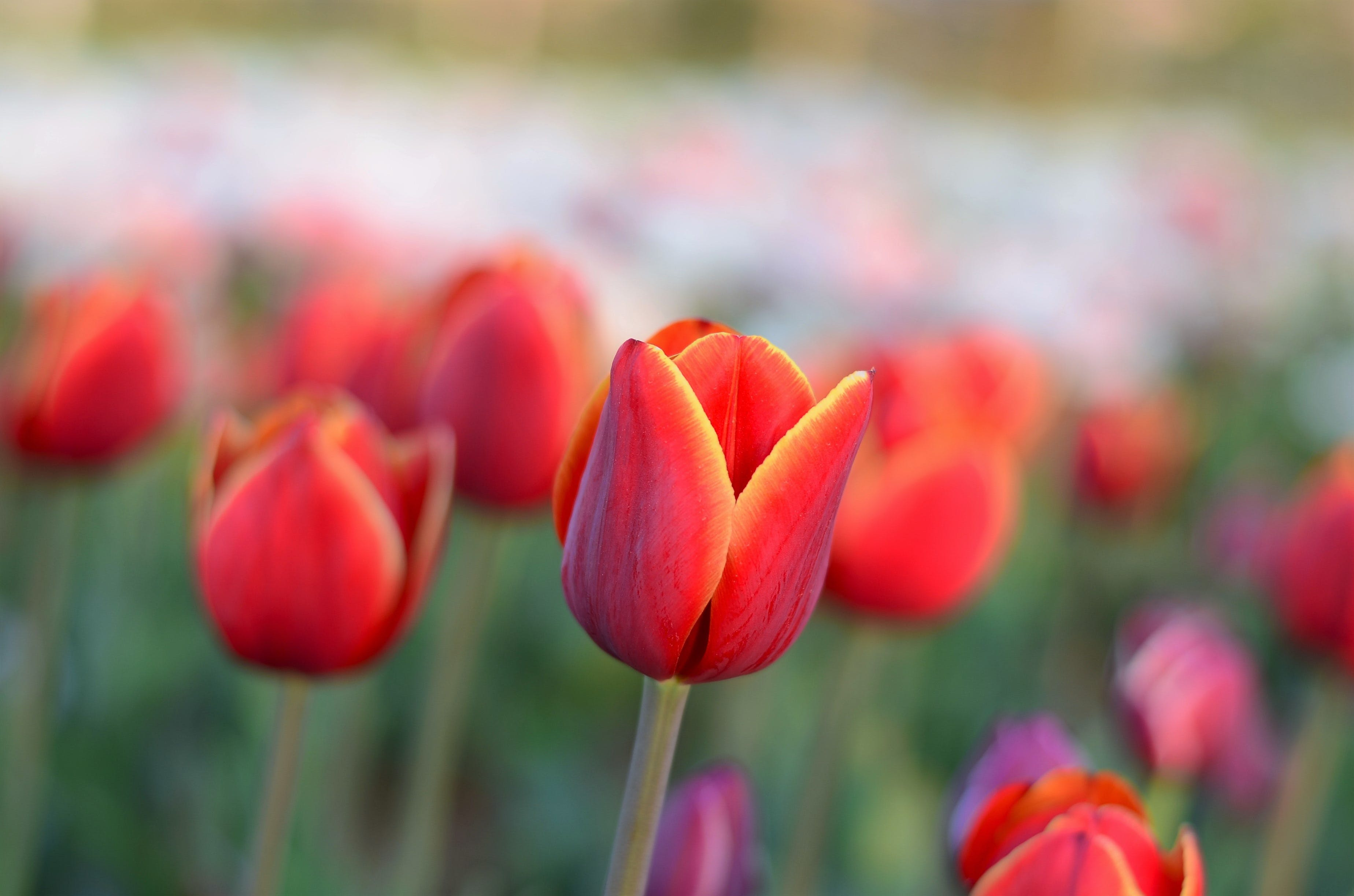 Selective Focus Photography of Red Tulips