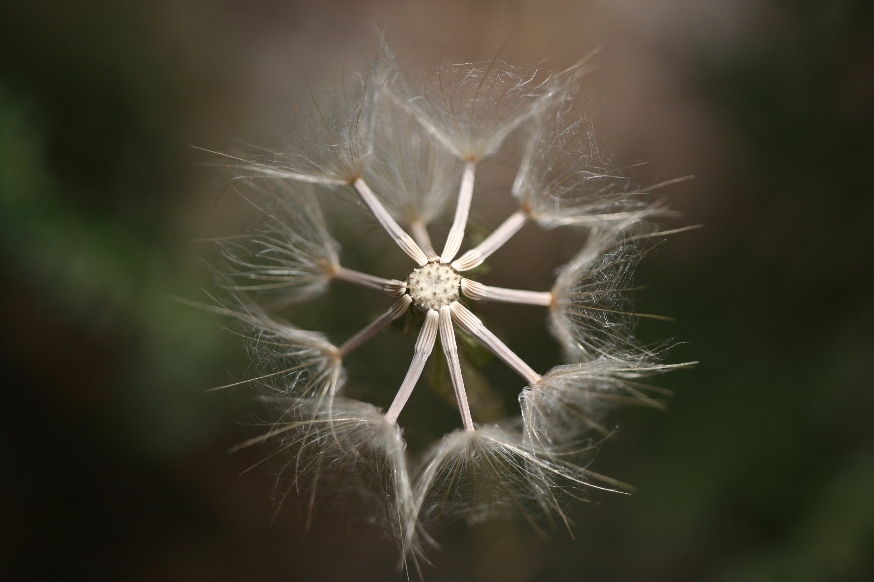 Selective Photography of Dandelion