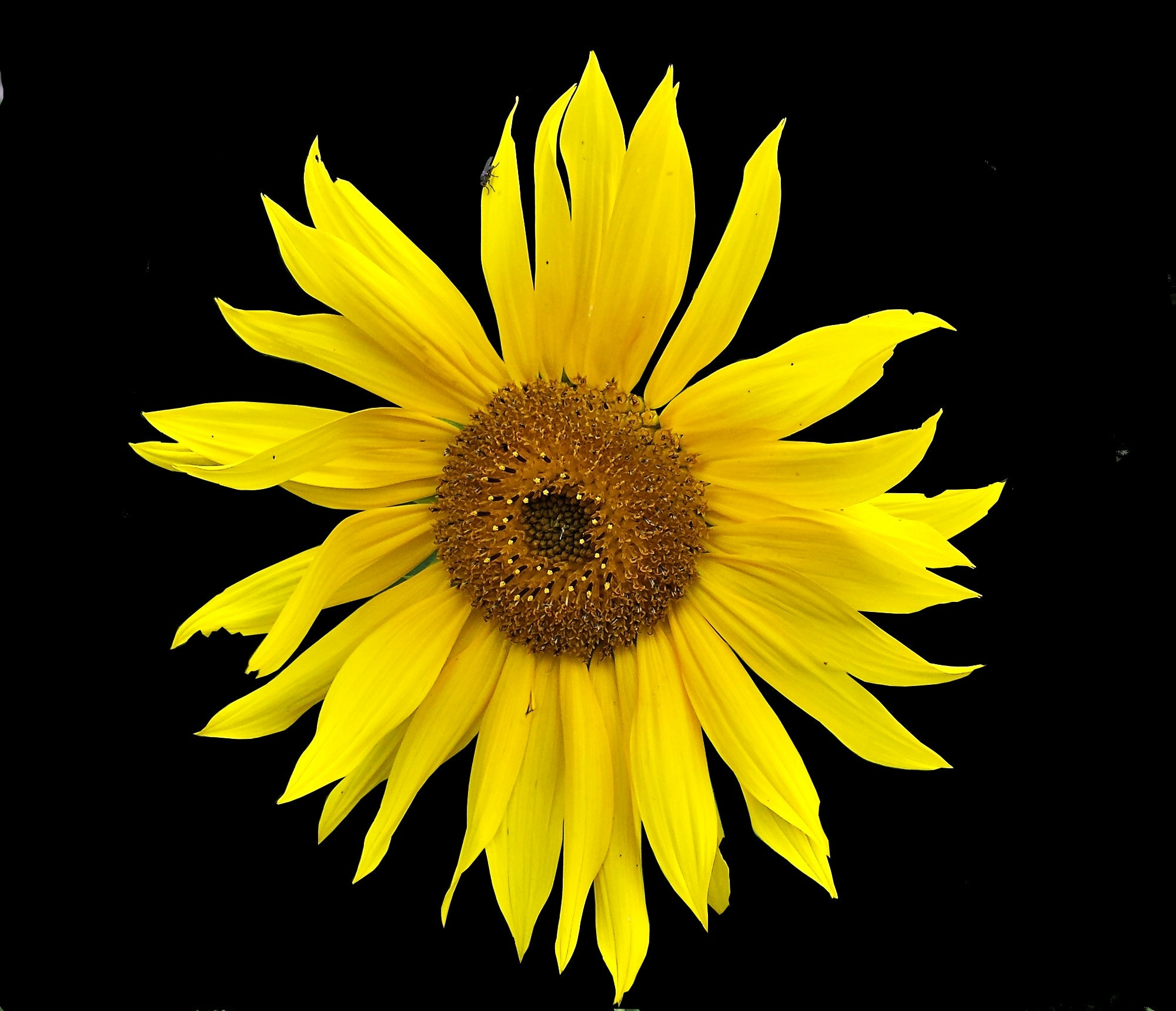 Foto Stok Gratis Tentang Background Hitam Berkembang Bunga Matahari