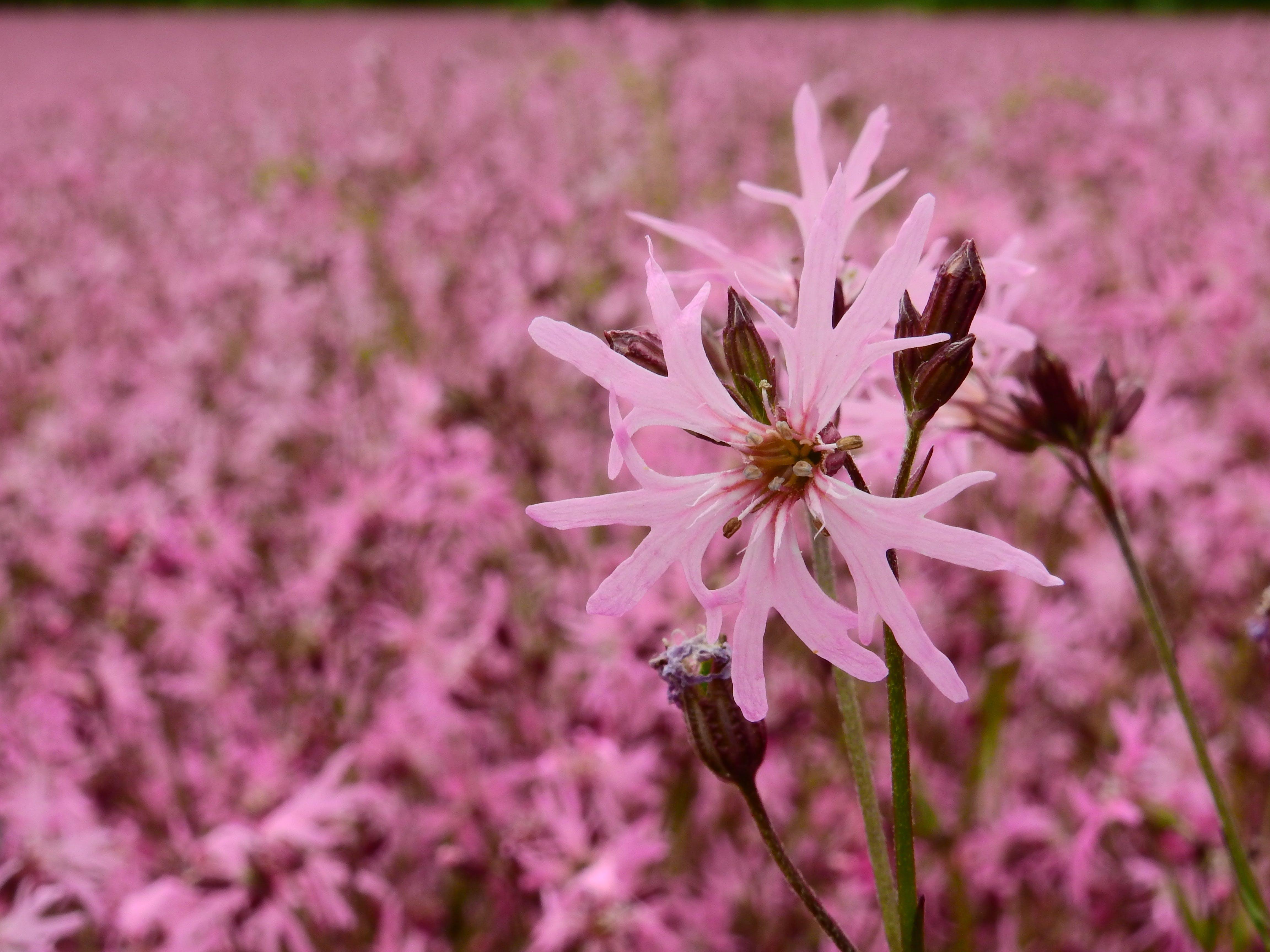 Pink Petaled Flower Wallpaper