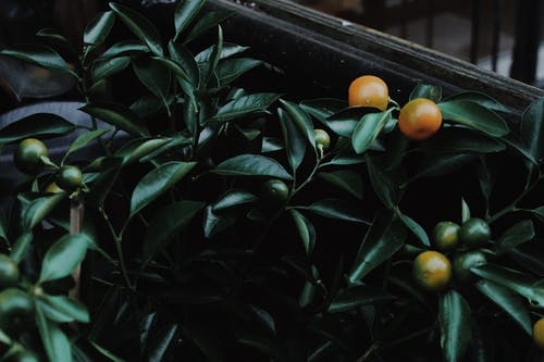 From above of fresh exotic fruits of mandarin growing on tropical tree with green lush foliage