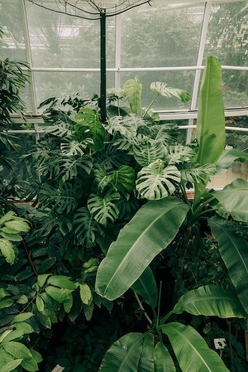 คลังภาพถ่ายฟรี ของ กล้วย, การเจริญเติบโต, ดอกไม้