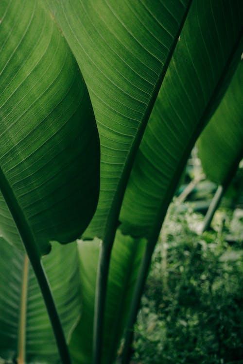 คลังภาพถ่ายฟรี ของ กล้วย, กลางแจ้ง, การสังเคราะห์แสง
