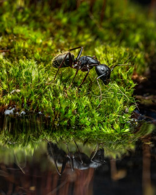 Wood ant reflecting from surface on water