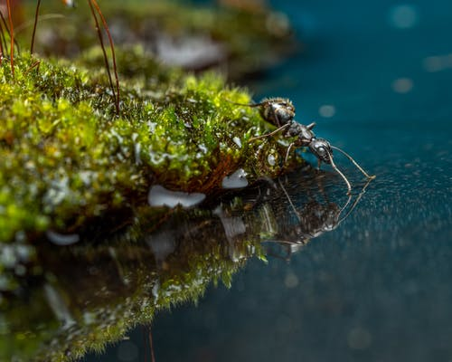 Black ant on moss next to reservoir