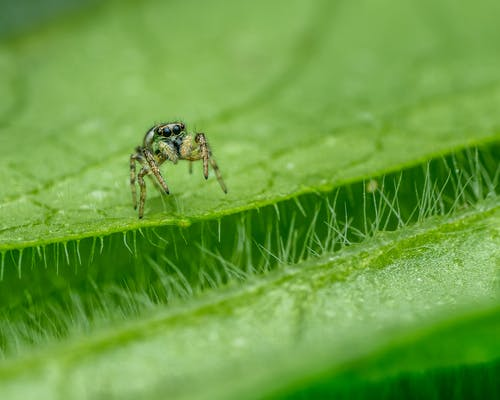 Small Plexippus petersi on verdant leaf