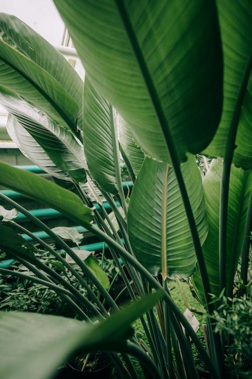 คลังภาพถ่ายฟรี ของ กล้วย, กลางแจ้ง, การเจริญเติบโต