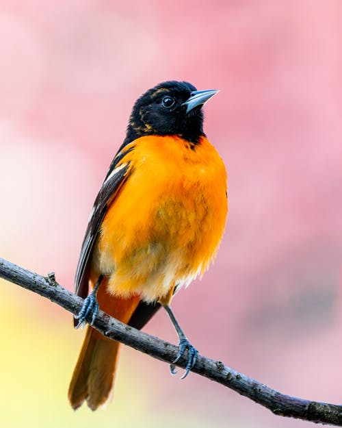 Little bird with yellow chest