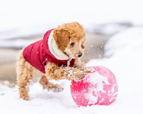 Cheerful Toy Poodle with curly fur in red costume rolling ball on snowy ground while playing on street in winter day