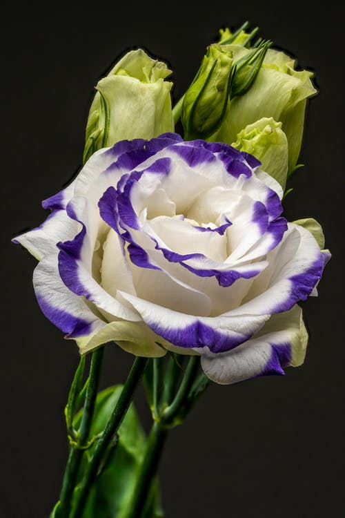 Tender blossoming white rose bud with violet petals on green stem placed on black background in studio during photo shoot