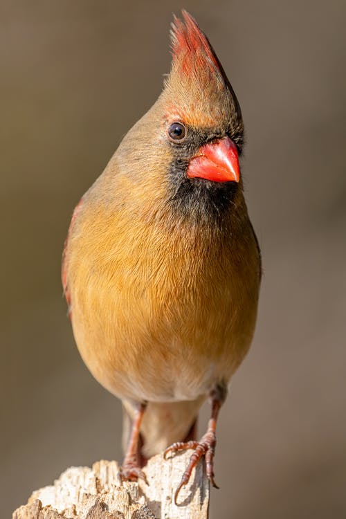 Northern cardinal with bright plumage on beige background