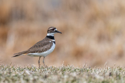 Predatory bird on thin legs with brown and white plumage strolling on grass lawn on beige background