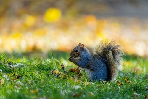 Squirrel with fluffy tail and attentive gaze eating on bright grass meadow in daytime