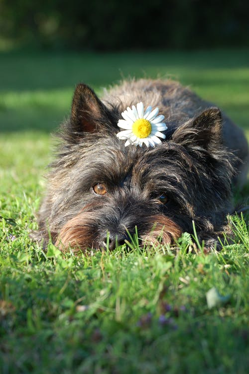 Black and Tan Yorkshire Terrier Puppy Lying on Green Grass Field