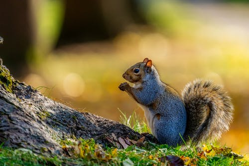 Gray squirrel resting near tree trunk in summer