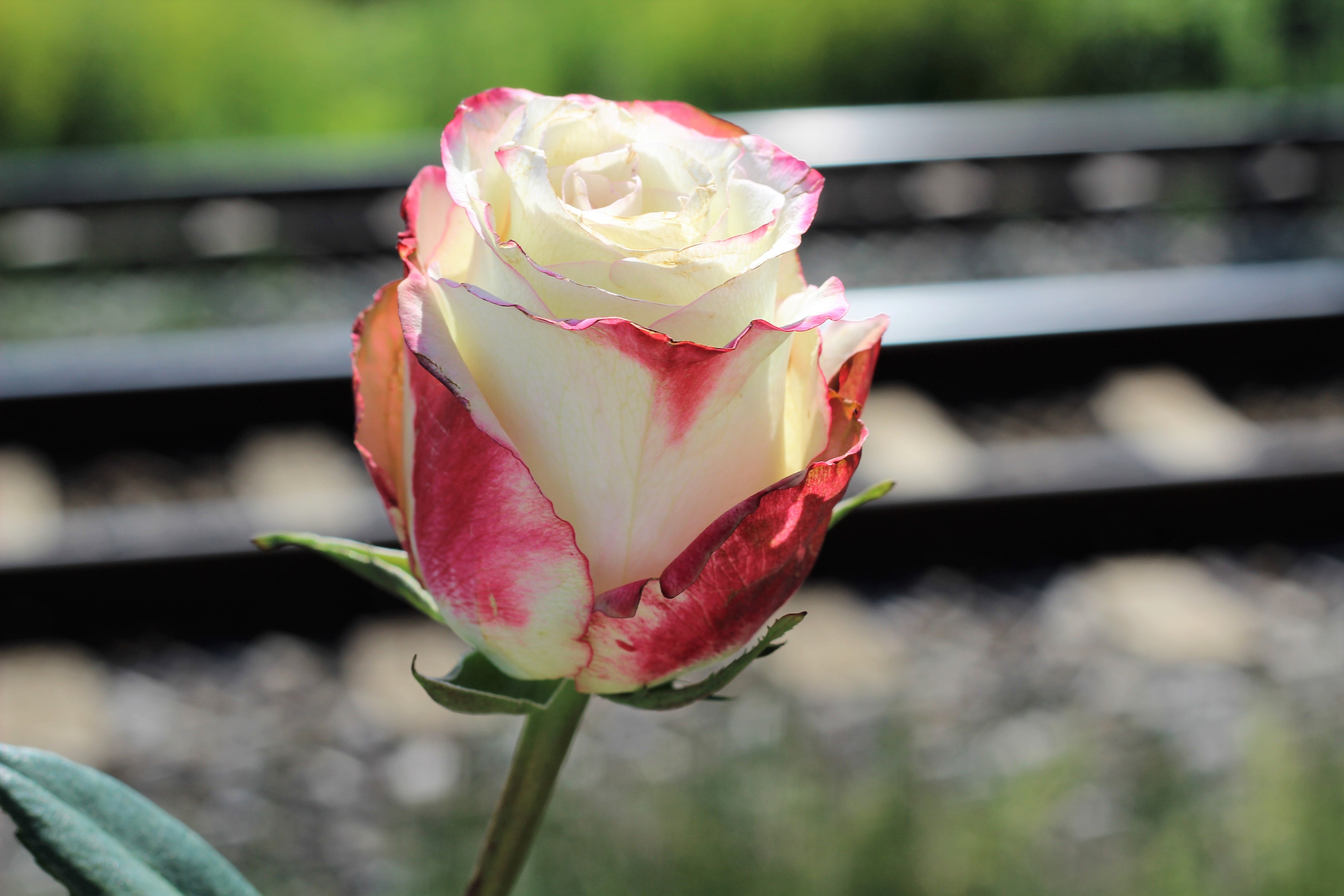 Free stock photo of love, railway, tragedy, white red rose