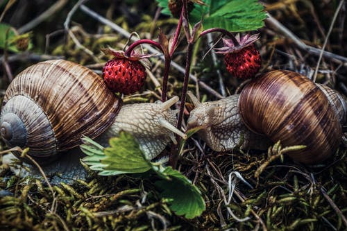 Snails with ornamental shells eating stem of wild strawberries
