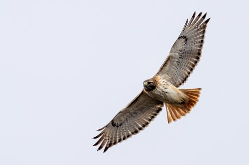 From below of big attentive carnivorous bird with ornamental wings soaring on white background