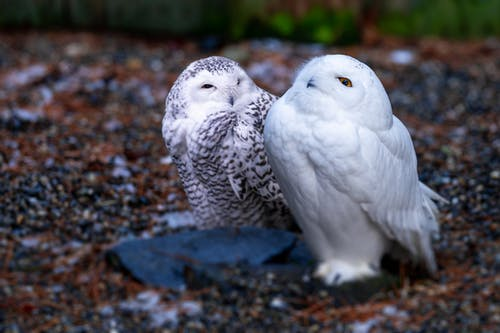 Snowy owls with shiny plumage resting on dry terrain